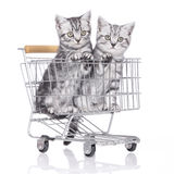 Two British short hair kitten stock images