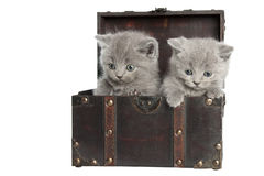 Two british short-hair kittens Royalty Free Stock Photos