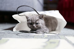 Two British Shorthair baby in a bag Royalty Free Stock Photos