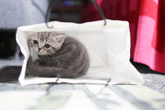 Two British Shorthair baby in a bag Royalty Free Stock Image