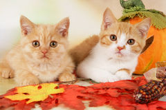 Two british shorthair kitten with autumn leaves Royalty Free Stock Image