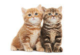 Two British Shorthair kitten cat isolated. Two british shorthair brown and red kitten cat isolated Royalty Free Stock Photography