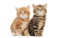 Two British Shorthair kitten cat isolated Royalty Free Stock Photography