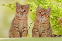 Two british shorthair kitten Royalty Free Stock Photography