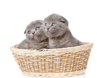 Two british shorthair kittens in basket. isolated on white Royalty Free Stock Photos
