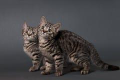 Two British Shorthair kittens. Stock Photos