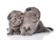 Two british shorthair kittens. isolated on white background Stock Photo