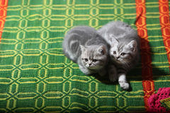 Two British Shorthair Kittens Stock Images