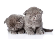 Two british shorthair kittens sleeping. isolated on white Royalty Free Stock Photos