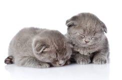 Two british shorthair kittens sleeping.  on white backgr. Ound Stock Image