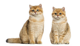 Two British shorthair sitting, isolated Stock Photos