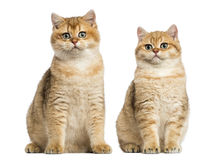 Two British shorthair sitting, isolated Stock Image