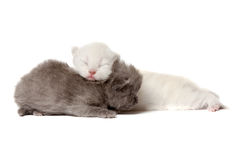 Two british shothair kittens Royalty Free Stock Image