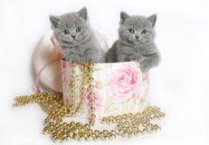 Two Brittish kittens in a box. Royalty Free Stock Photo