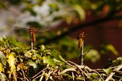Two broad-bodied Darters resting a metal rods sticking out of a fence. royalty free stock photography