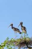 Two brother of Asian Openbill stork Stock Images