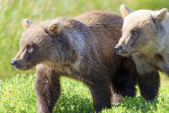 Two brother brown bear cubs Royalty Free Stock Photos