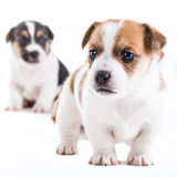 Two brother Jack Russel puppies Stock Photos