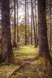 Two brothers. Alpine forest at an altitude of over 2,000 meters Stock Photography