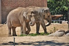Two small brothers elephants Royalty Free Stock Image