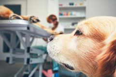 Dog in the animal hospital. Two brothers of the golden retriever in the animal hospital. Veterinarian preparing the dog for surgery. Thames loyalty, friendship Stock Image
