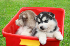 Two brothers husky puppies Royalty Free Stock Images