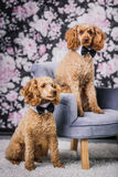 Two brothers poodle together royalty free stock photo