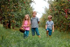 Children girl boy brother sister together apple garden big basket help apron gloves work gather three. Two brothers and a sister harvest ripe red apples in the royalty free stock images