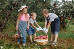 Children girl boy brother sister together apple garden big basket help apron gloves work gather. Two brothers and a sister harvest ripe red apples in the garden royalty free stock images