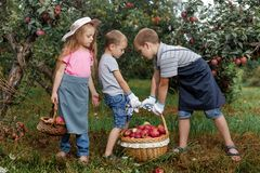 Children girl boy brother sister together apple garden big basket help apron gloves work gather. Two brothers and a sister harvest ripe red apples in the garden stock images
