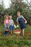 Children girl boy brother sister together apple garden big basket help apron gloves work gather. Two brothers and a sister harvest ripe red apples in the garden stock image