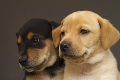 Two brothers, a yellow puppy and a black with yellow puppy. Her mother was rescued in bad conditions. Adopt dont shop Royalty Free Stock Image