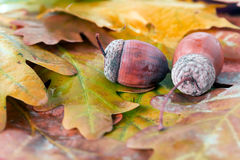 Two Brown acorn on autumnal leaves close up Stock Photography