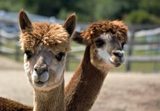 Two brown alpacas twisting their necks together. Light and dark brown alpacas, corral, pasture, sunny day Stock Photography