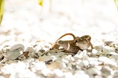 Two Brown Anole lizards Anolis sagrei mate. In southeast Florida on white gravel stock images
