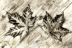 Two brown autumn leaves on a wood substrate in black and white.  Stock Photo