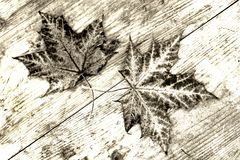 Two brown autumn leaves on a wood substrate in black and white.  Royalty Free Stock Photos