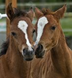 Two brown baby foals. Two brown baby  foals, colts, enjoy each others companionship, best friends together Stock Photography