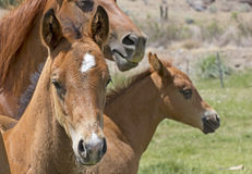 Two Brown Baby Horses With Mother Stock Images