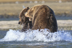 Two brown bear boars fighting Stock Images