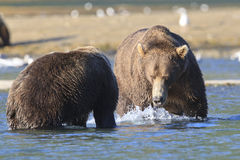 Two brown bear boars in showdown. Two brown bears fixing to fight Royalty Free Stock Image