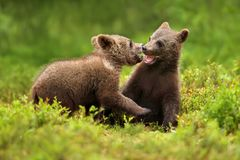 Two brown bear cubs play fighting in the forest. In summer, Finland Stock Image