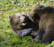 Two brown bear cubs play fighting Royalty Free Stock Photos