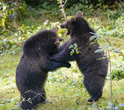 Two brown bear cubs play fighting Stock Photo