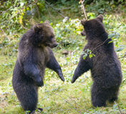 Two brown bear cubs play fighting. In nature Royalty Free Stock Images