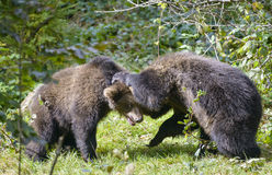Two brown bear cubs play fighting Royalty Free Stock Images