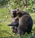 Two brown bear cubs play fighting Royalty Free Stock Photo