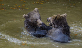 Two brown bear cubs play fighting Stock Image