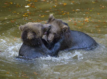 Two brown bear cubs play fighting Royalty Free Stock Image