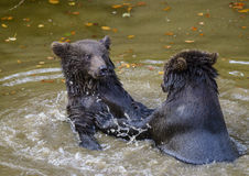 Two brown bear cubs play fighting Stock Photography